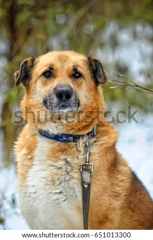 Red-haired dog mongrel in winter #651013300