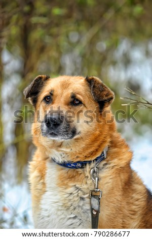 Red-haired dog mongrel in winter #790286677