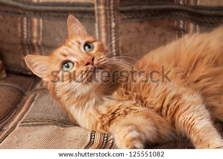 red-haired playful domestic cat lying on the sofa