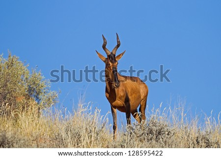 Red Hartebeest against clear blue sky; Alcelaphus buselaphus