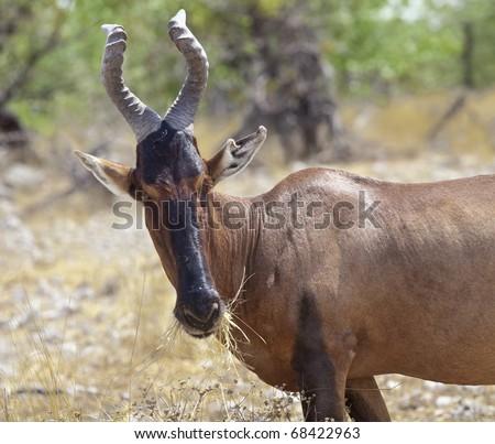 Red Hartebeest antelope feeding in Etosha (Namibia)