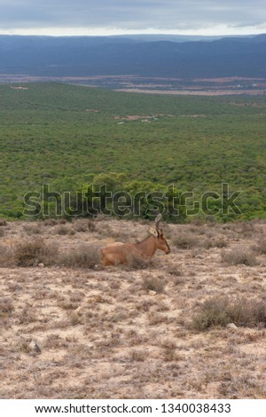 Red hartebeest antelope in the wild. on safari game drive in Africa. Explore wildlife, safari adventure background of South African wildlife