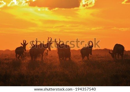 Red Hartebeest - Wildlife Background from Africa - Glow of Animal and Beauty from Nature