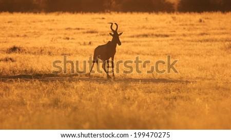 Red Hartebeest - Wildlife Background from Africa - Golden Nature
