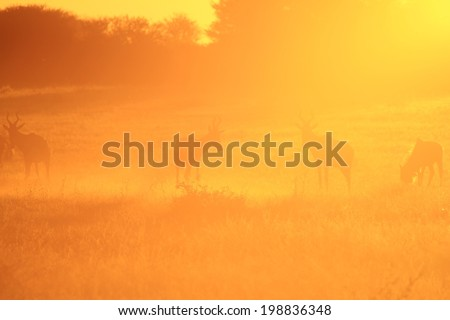 Red Hartebeest - Wildlife Background from Africa - Nature and Her Colors of Golden Dust
