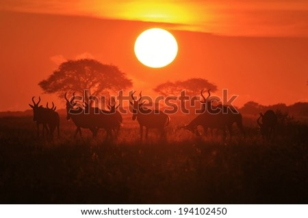 Red Hartebeest - Wildlife Background from Africa - The Color of Peace and Tranquility