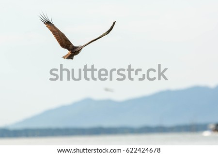Red hawk,Red-backed sea-eagle, Please Download a large file for best quality.,Meaning to step up as a leader.