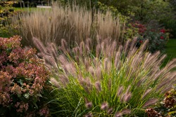 Red head ornamental grasses pennisetum alopercuroides, ornamental grass with whimsical plumes highlighted by the late afternoon sun, are a standout in this Chicago garden.