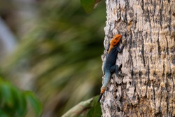red headed agama lizard on a palm tree at indian river side park in stuart florida