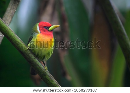 Red-headed Barbet - Eubucco bourcierii, beautiful colorful red headed barbet from Costa Rica hills.