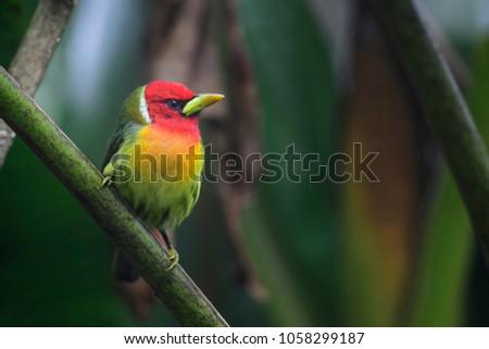 red headed barbet   eubucco...