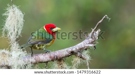 Red headed barbet photgraphed in Costa Rica on a perfect mossy perch