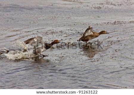 Red Headed Duck Swimming Saskatchewan Canada