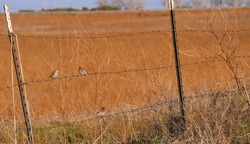 red-headed finches sitting on a barbed wire fence in front of grassland