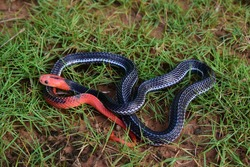 Red-headed Krait Snake are found only in the southern part of Thailand.