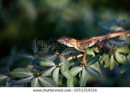 Red-headed Lizard, Eastern Garden Lizard, Common Garden Lizard, Bloodsucker, Changeable Lizard (Calotes versicolor)