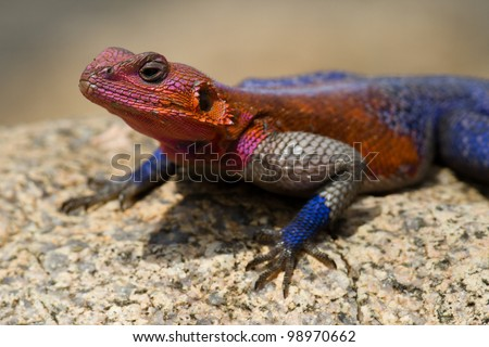 Red-headed rock agama colourful male territorial display, Serengeti National Park, Tanzania, East Africa