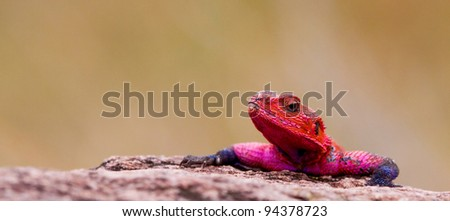 Red-headed rock agama, Maasai Mara National Park, Kenya