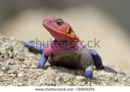 Red-headed rock agama male posturing, Serengeti NP, Tanzania, East Africa