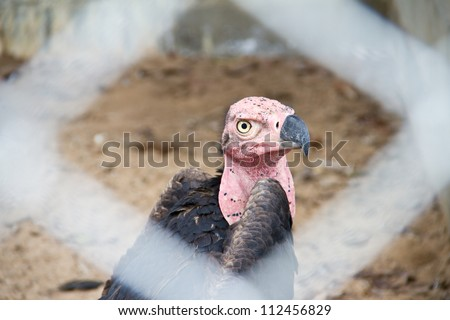 Red-headed Vulture, Asian King Vulture, Indian Black Vulture, Pondicherry Vulture - stock photo