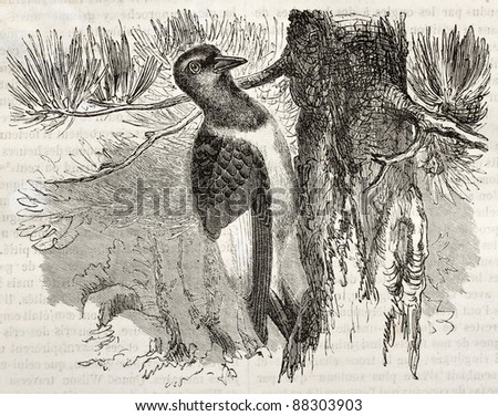 Red-headed Woodpecker old illustration (Melanerpes erithrocephalus). Created by Kretschmer, published on Merveilles de la Nature, Bailliere et fils, Paris, ca. 1878