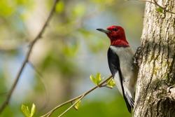 Red Headed woodpecker on a tree