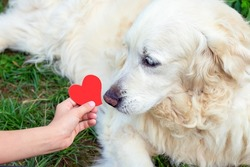 Red heart in the child's hand, which he holds out to his senior golden retriever dog. Concept of children's love for pet and friendship. Animal Protection Day.
