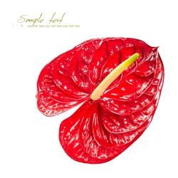 Red heart, red anthurium flower isolated on a white background