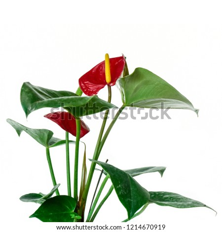 Red heart, red anthurium flower,plant . isolated in white. selective focus. #1214670919