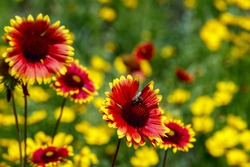 Red Helenium flower closeup