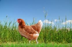 red hen and  green grass  - free range chicken - one