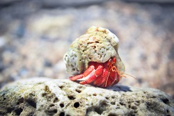 Red Hermit crab crawls on a rock
