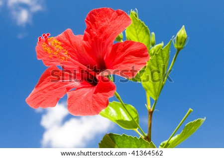 Red hibiscus against blue sky background