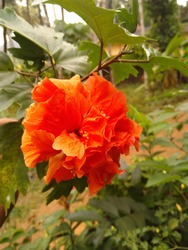 Red hibiscus beautiful flower china rose chembarathi