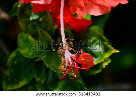 Red Hibiscus Flower details. Shallow DOF