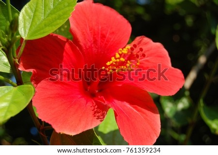 Red Hibiscus Flower Hawaiian National Symbol Summer Blossoming