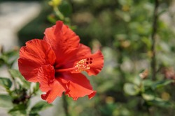 Red Hibiscus flower in the garden