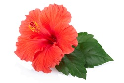 Red hibiscus flower isolated on white, clipping path included