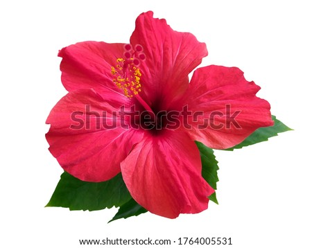 Red hibiscus flower & leaf (rosa sinensis) isolated on white path background. Pink hibiscus flower scent plant for aroma floral perfume design closeup isolated. Tropical rose hibiscus flower isolated