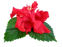 Red Hibiscus flower or Chinese Rose, Hawaiian hibiscus, China Rose,Shoe flower with leaves isolated on white background