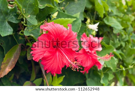 Red Hibiscus flowers blooming on the green leaf background