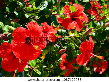 Red Hibiscus flowers (China rose, Chinese hibiscus,Hawaiian hibiscus) in tropical garden of Tenerife,Canary Islands,Spain.Floral background. Selective focus.