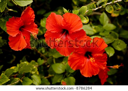 Red hibiscus flowers in a row horizontal orientation.