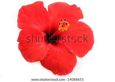 stock-photo-red-hibiscus-isolated-on-the-white-background-14088655.jpg