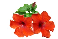 Red Hibiscus on white background with path