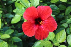 Red Hibiscus rosa-sinensis, known colloquially as Chinese hibiscus, China rose, Hawaiian hibiscus, rose mallow and shoeblackplant
