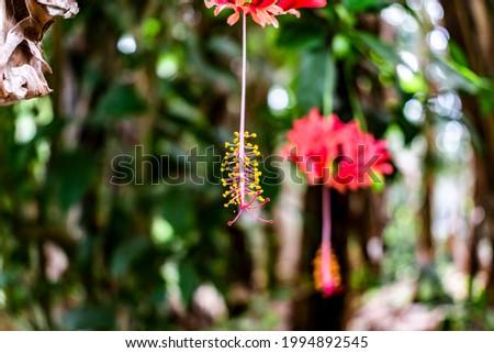 Red Hibiscus schizopetalus, spider hibiscus stamen hanging from the flower, gorgeous yellow stamen, front stamen in focus Stock photo ©