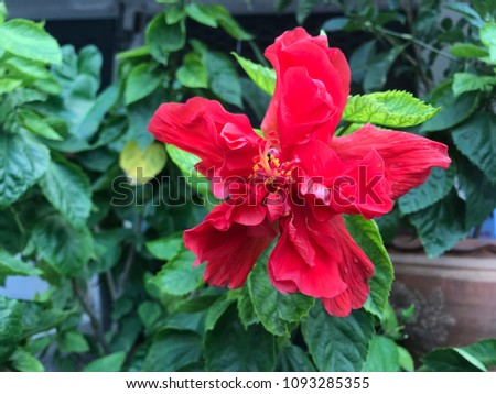 Pink Fresh Hibiscus Double Flower With Green Leaves Isolated On