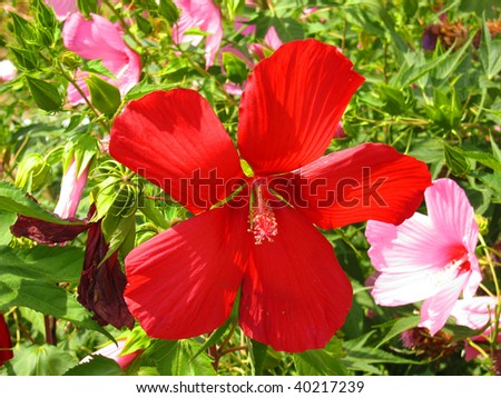 Red hibiscus (Syrian rose)