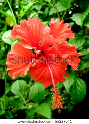 Red Hibiscus Tropical Flower